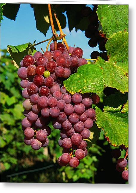 Cluster Of Grapes Ripe For Harvesting Greeting Card