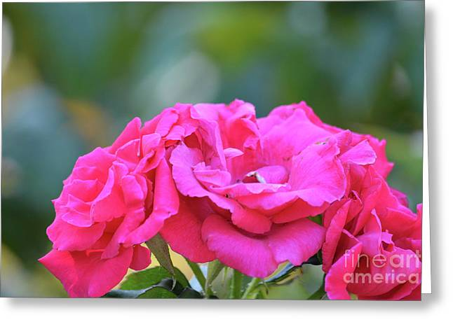 Cluster Of Roses Greeting Card by Ruth Housley
