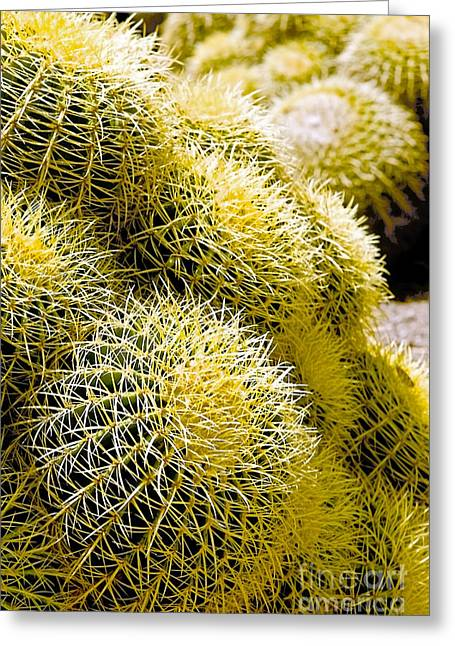 Clustered Golden Barrel Cactus Greeting Card