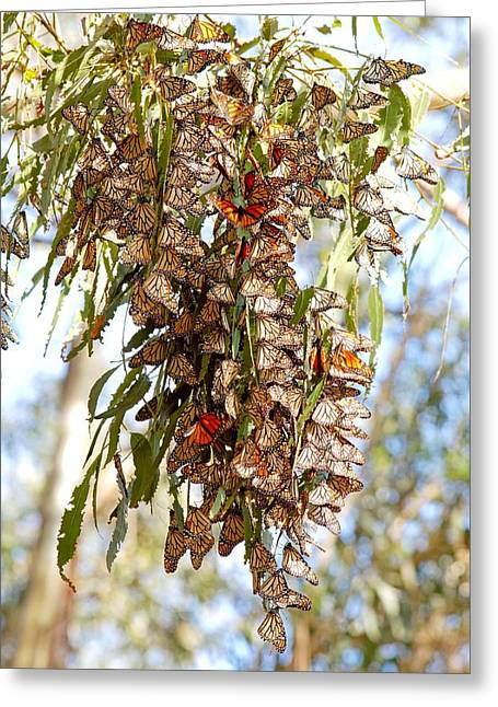 Clustered - Monarch Butterflies Greeting Card