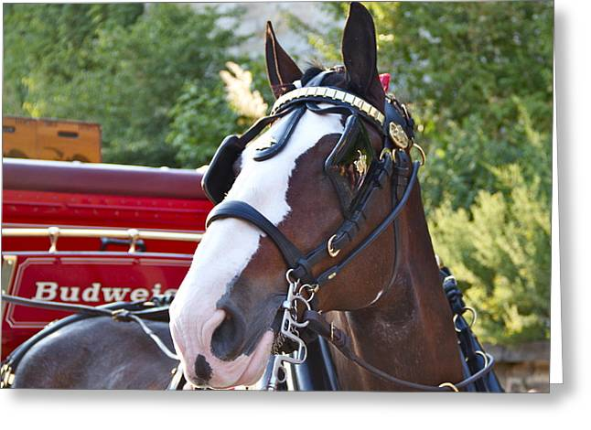 Clydesdale At Esp Greeting Card by Alice Gipson