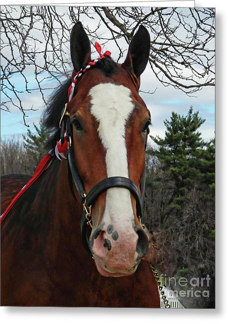 Clydesdale Horse Greeting Card by Marcia Lee Jones