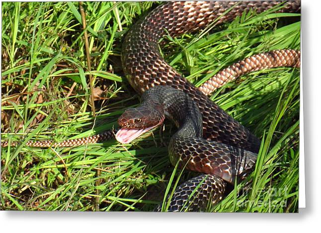 Coachwhip Snake In Grass Greeting Card by John Myers