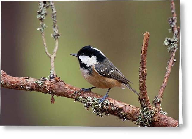 Coal Tit Periparus Ater Greeting Card