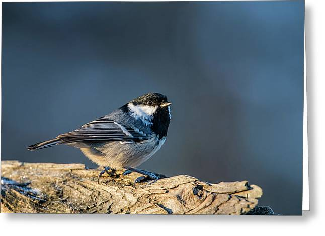Greeting Card featuring the photograph Coal Tit's Colors by Torbjorn Swenelius
