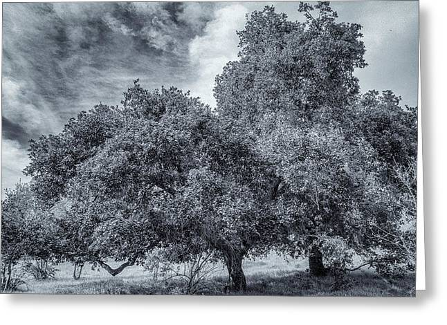 Coast Live Oak Monochrome Greeting Card