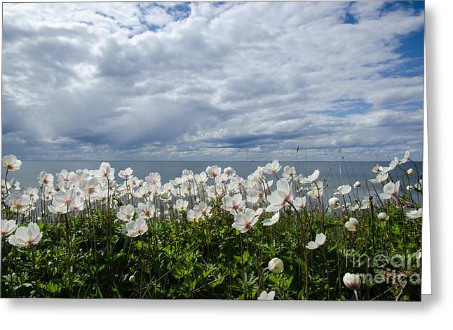 Coastal Backlit Anemones Greeting Card