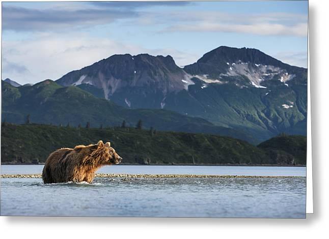 Coastal Brown Bear  Ursus Arctos Greeting Card by Paul Souders