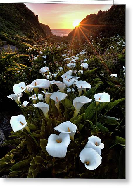 Coastal Calla Lilies Greeting Card
