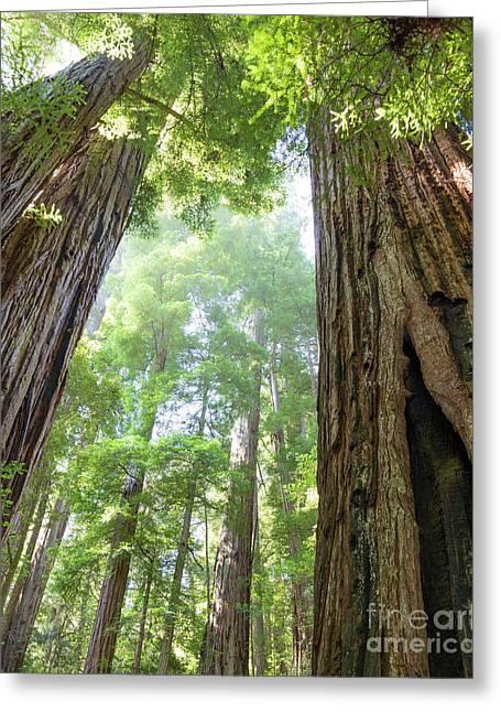 Coastal Redwoods  Greeting Card
