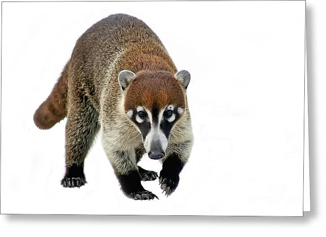 Coatimundi Greeting Card by Teresa Zieba