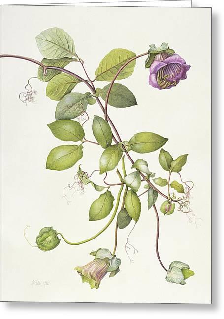 Cobea Scandens Greeting Card by Margaret Ann Eden