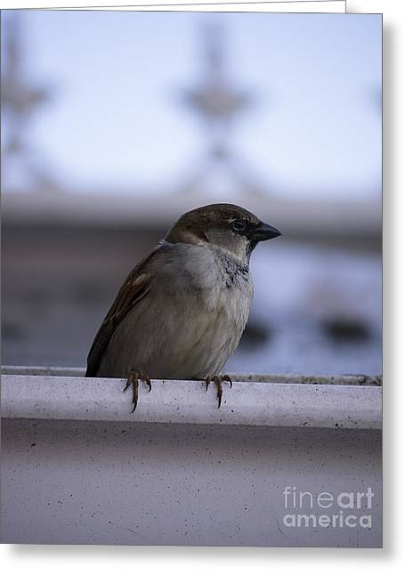 Cock Sparrow Greeting Card