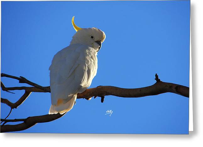 Cockatoo Greeting Card by Linda Hollis