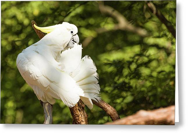 Cockatoo Preaning Greeting Card
