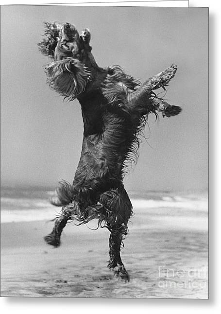 Cocker Spaniel Jumping Greeting Card