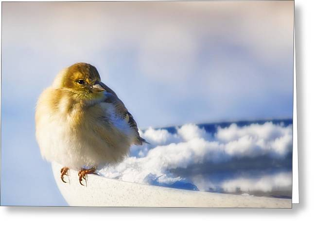 Cold American Goldfinch Greeting Card
