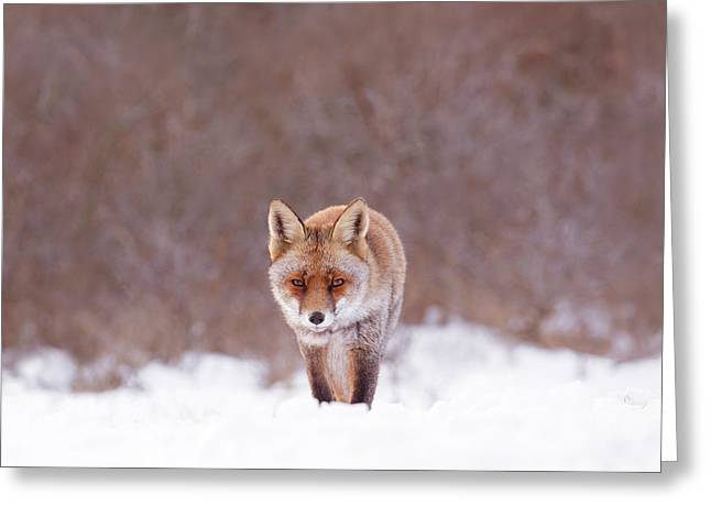 Cold Encounter - Red Fox In The Snow Greeting Card by Roeselien Raimond