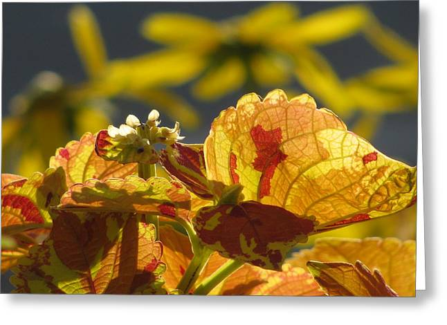 Coleus  Greeting Card by Alfred Ng