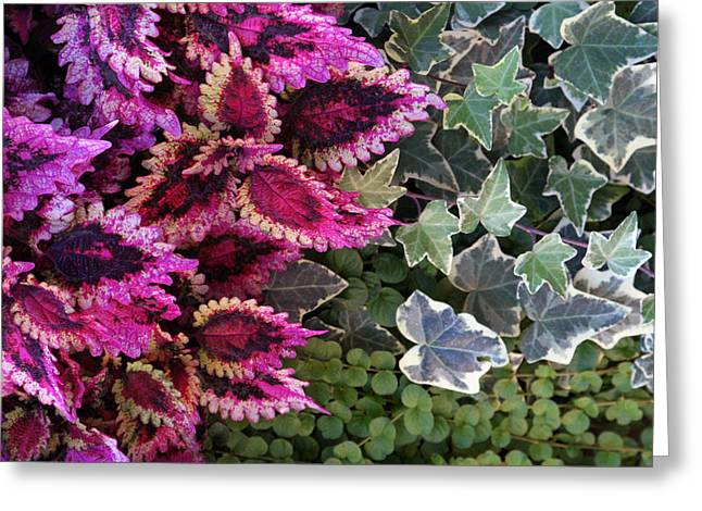 Coleus And Ivy- Photo By Linda Woods Greeting Card
