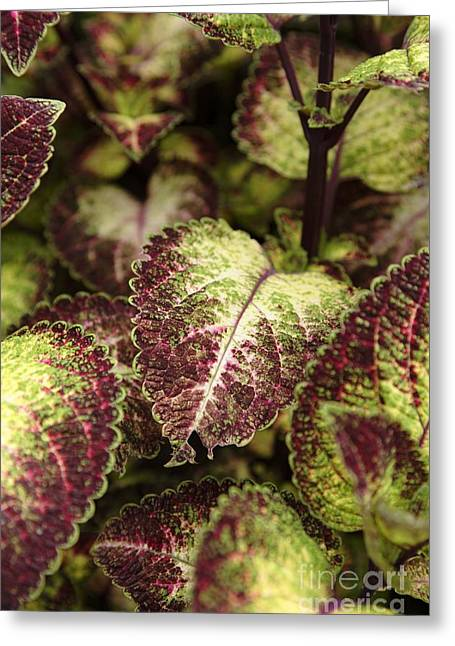 Coleus Plant Greeting Card by Erin Paul Donovan