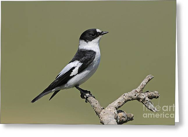 Collared Flycatcher Greeting Card by Richard Brooks/FLPA