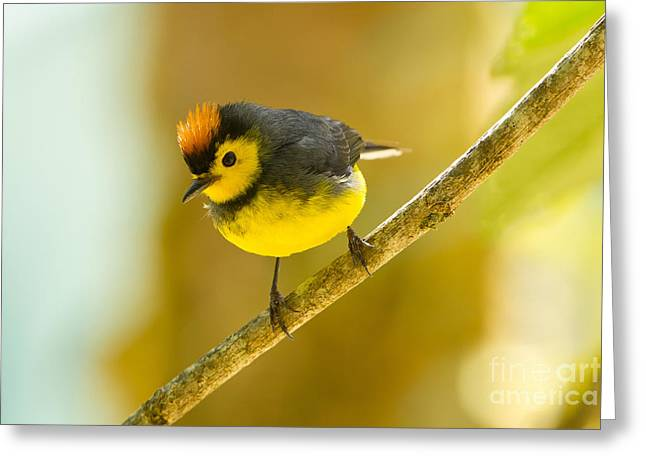 Collared Redstart Greeting Card