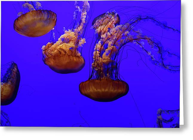 Collection Of Jellyfish Greeting Card