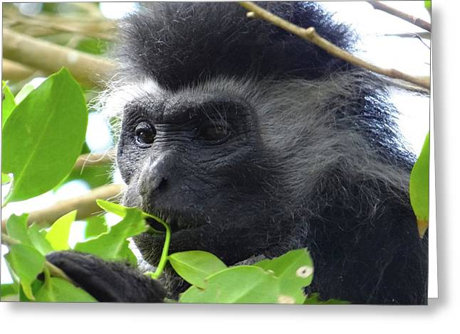 Colobus Monkey Eating Leaves In A Tree Close Up Greeting Card