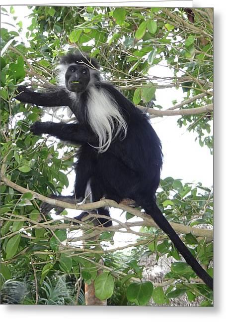Colobus Monkey Eating Leaves In A Tree Greeting Card by Exploramum Exploramum