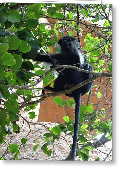Colobus Monkey Eating Leaves In A Tree - Full Body Greeting Card