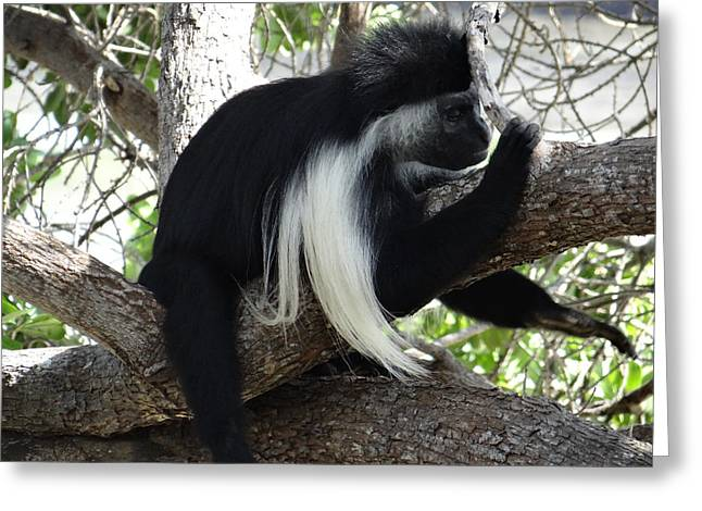 Colobus Monkey Resting In A Tree Greeting Card