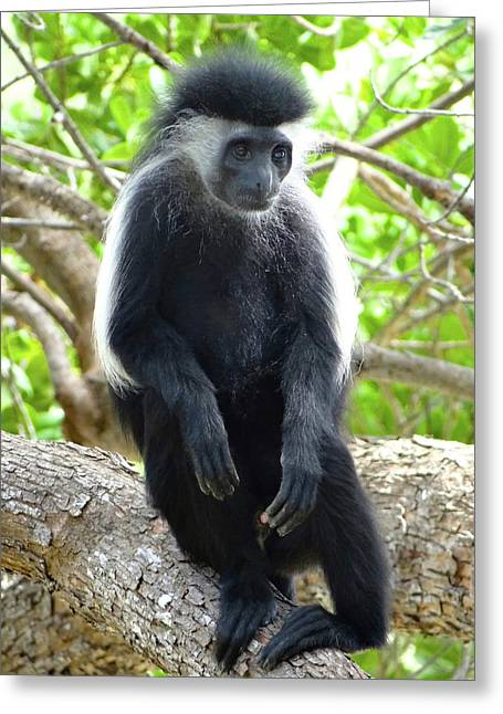 Colobus Monkey Sitting In A Tree 2 Greeting Card