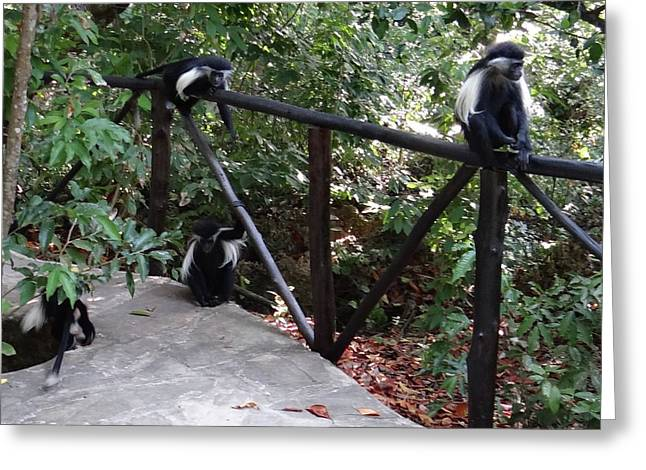Colobus Monkeys At Sands Chale Island Greeting Card