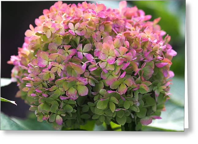 Color-changing Little Lime Hydrangea Greeting Card by Rona Black