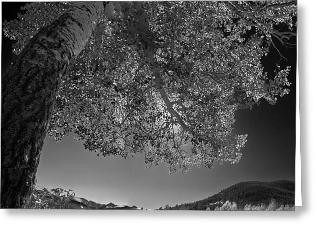 Colorado Aspen Black And White Greeting Card by Dave Dilli
