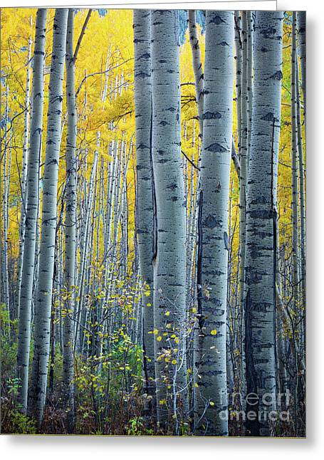 Colorado Aspens Greeting Card by Inge Johnsson