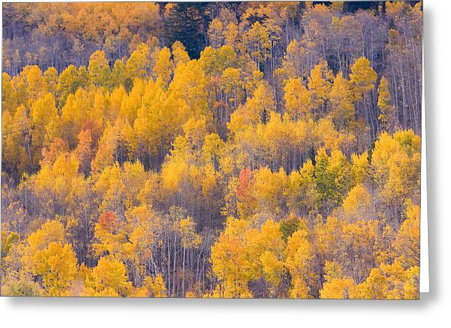 Colorado Autumn Trees Greeting Card by James BO  Insogna
