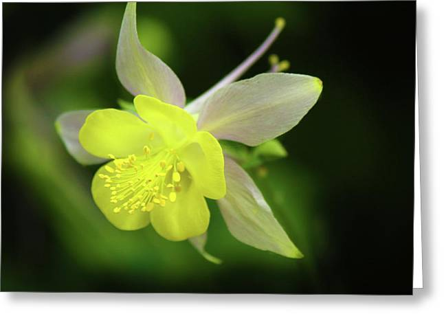 Colorado Columbine Greeting Card by Marie Leslie