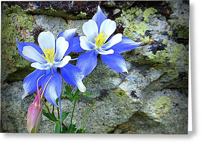 Colorado Columbines Greeting Card