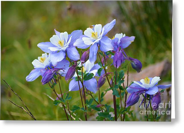 Greeting Card featuring the photograph Colorado Columbines by Kate Avery