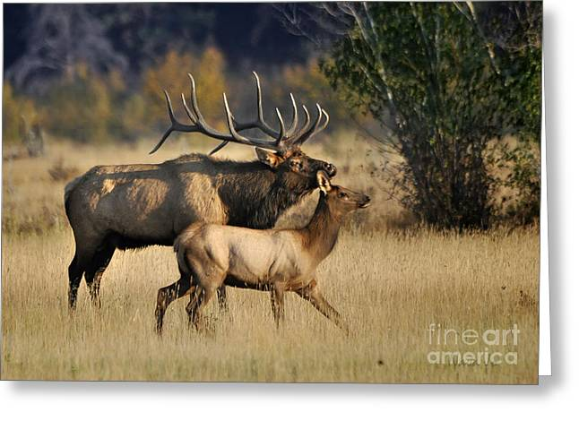 Colorado Elk  Greeting Card