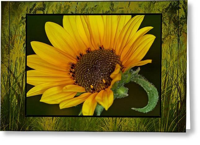 Colorado Sunflower Greeting Card