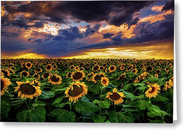 Colorado Sunflowers At Sunset Greeting Card