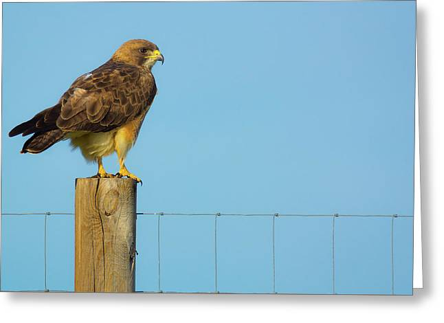 Greeting Card featuring the photograph Colorado Swainson's Hawk Perched by John De Bord