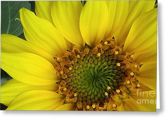 Colorado Wildflower Sunshine  Greeting Card