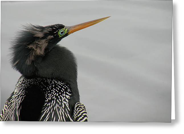 Colorful Anhinga Greeting Card by Rosalie Scanlon