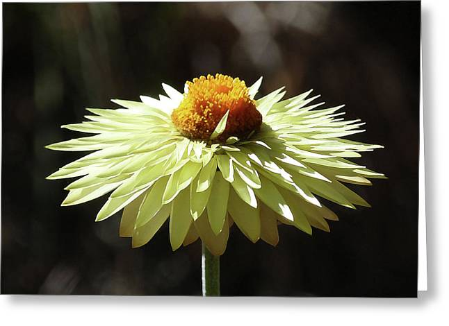 Colorful Australian Daisy Greeting Card