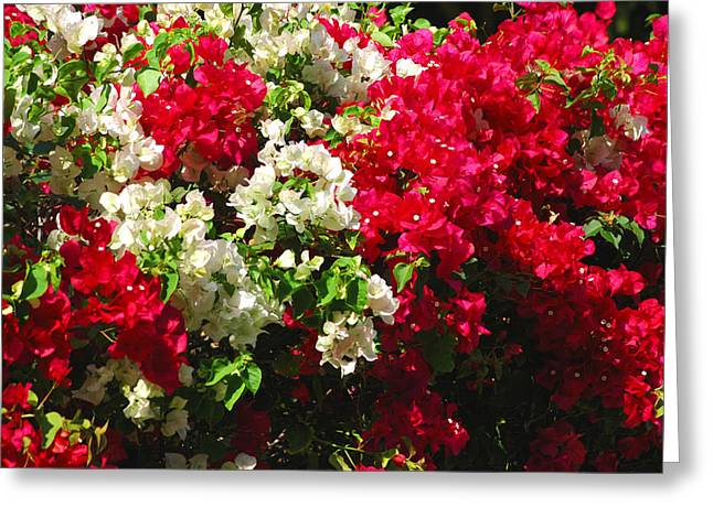 Colorful Bougainvilleas Greeting Card