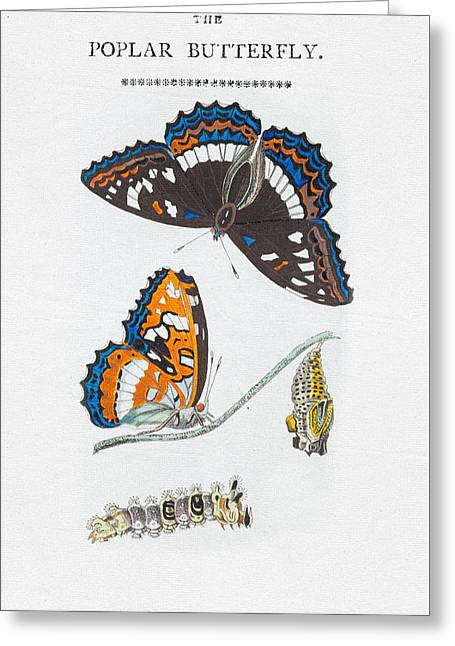 Colorful Butterfly Art - Poplar Butterfly Greeting Card